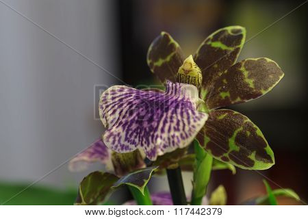 Purple and green orchid, Zygopetalum