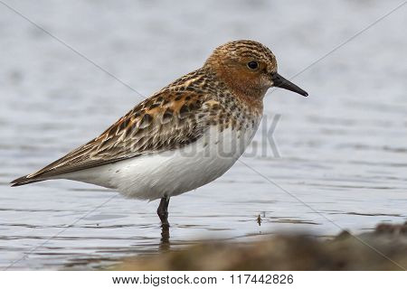 Rufous-necked Stint That Stands On The Shore Of Little Lake