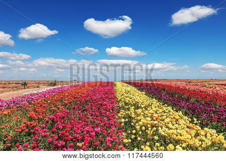 Field of multi-colored decorative flowers buttercups Ranunculus.  Flowers planted with broad bands of colors - red  and yellow. Spring fine day