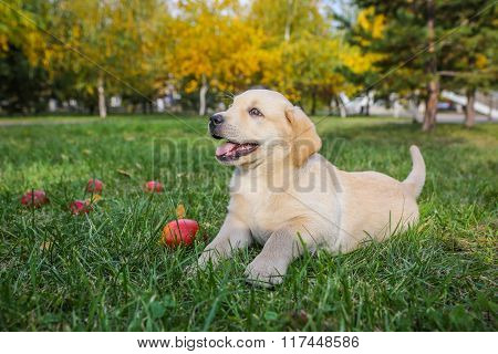 Labrador puppy with  apple