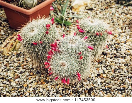 Big Echinocactus Flowering Plant In A Greenhouse