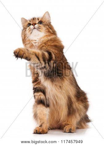 Adult Siberian Cat