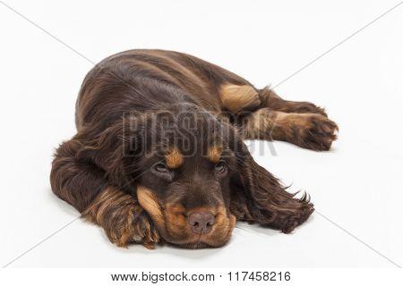 Cute Cocker Spaniel puppy dog laying down