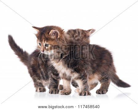 Fluffy Siberian Kittens