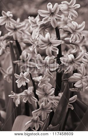 Purple Hyacinths (hyacinthus) Is One Of The First Beautiful Spring Flowers. In Sepia Toned. Retro St