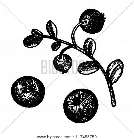 hand drawn cowberries