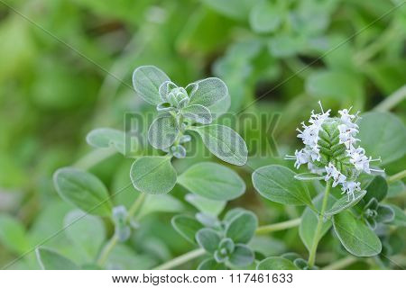 Closeup photo of home grown Marjoram with white flowers blossoming in the garden