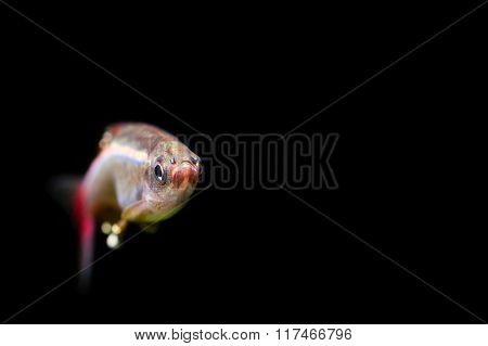 White Cloud Mountain minnow. Full face aquarium fish photo. Shallow depth of field. black background