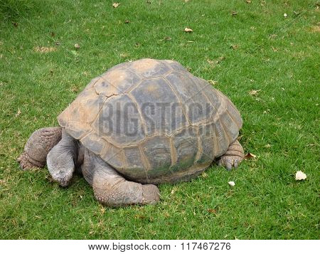 Big Turtle In A Green Grass