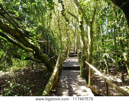 Wooden Footpath In Bosque Fray Jorge In Chile