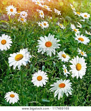 Summer Landscape. White Chamomile Flowers