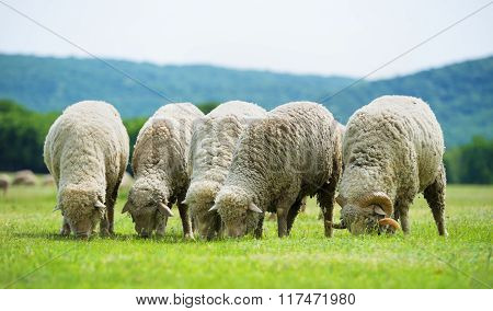 Flock Of Sheep Grazes On A Green Field