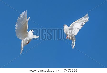 Two White Dovse