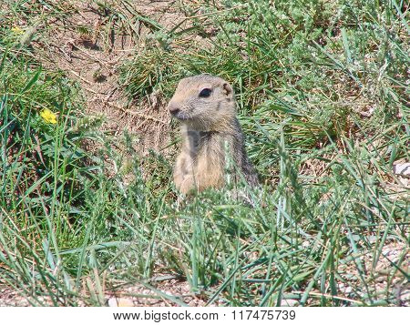 The gopher sits in a hole among a green grass - photo 1