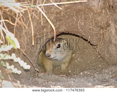 The gopher sits in a hole and looks forward