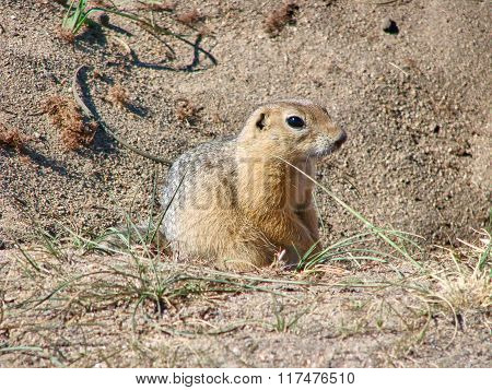 The gopher sits on sand and looks forward - a photo 2