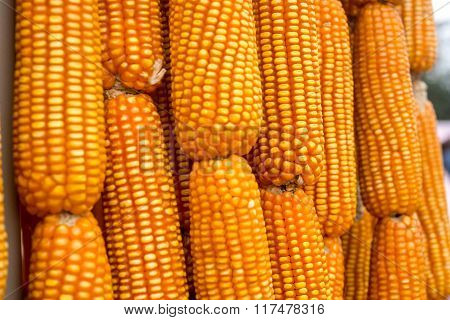 Corn cobs, freshly picked