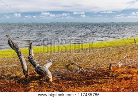 Dead mangrove tree trunks, driftwood branches and seaweed near ocean shore at Florida Keys