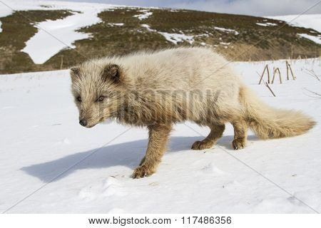 Commanders Blue Arctic Fox That Stands In The Snow
