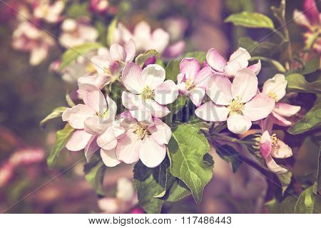 Cherry tree blossom flowers in spring