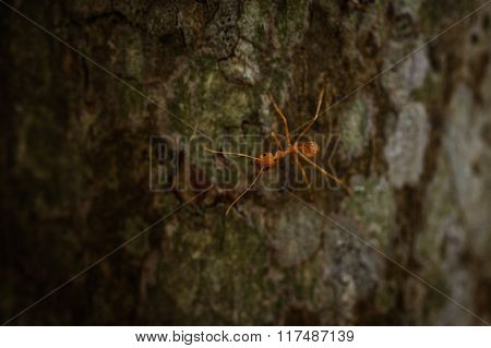 Weaver Ant On The Tree Texture