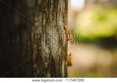 Weaver Ants Side View On Tree