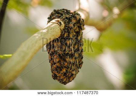 Honeybee Swarm Hanging On Small Branch Of Tree