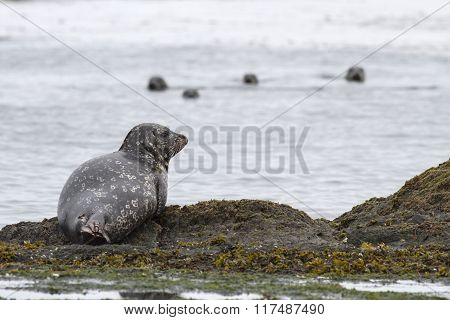Harbor Seal Which Lies On The Edge Of The Rocks On The Shore Of The Island
