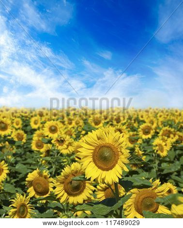 Beautiful landscape with sunflower field cloudy blue sky