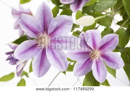 Two purple clematis flowers