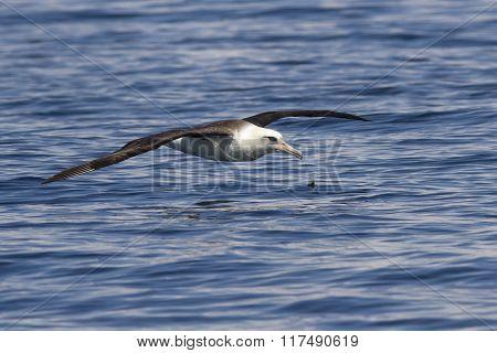 Laysan Albatross That Flies Over The Waters Of The Ocean