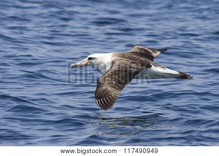 Laysan Albatross That Hovers Over The Waters Of The Pacific Ocean