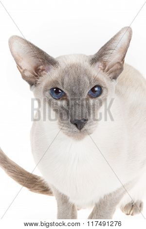 Cute Hairless Oriental Cat Close Up, Isolated On White