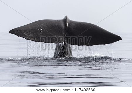 Sperm Whale That Dives Into His Tail Above The Water