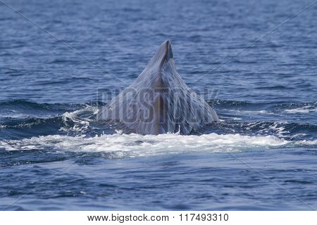 Dorsal Finl Of The Sperm Whale That Dives Into The Waters