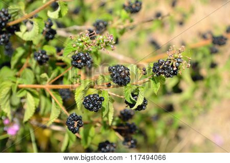 Berry Bush Background.