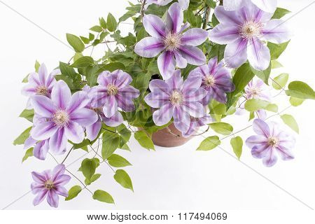 Potted clematis flowers