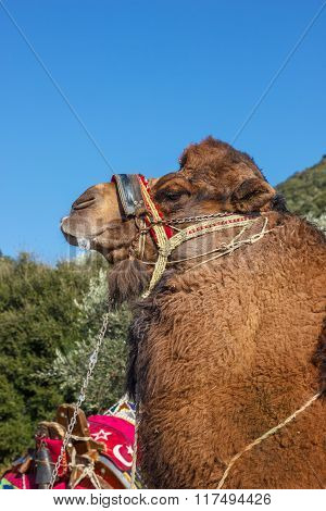 Camel  Ready For Fights