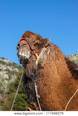 Portrait Of Fighting Camel