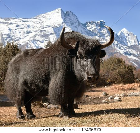 Black Yak On The Way To Everest Base Camp