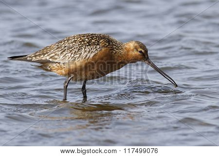 Siberian Bar-tailed Godwit Which Feeds In Shallow Water In The Spring Sunny Day