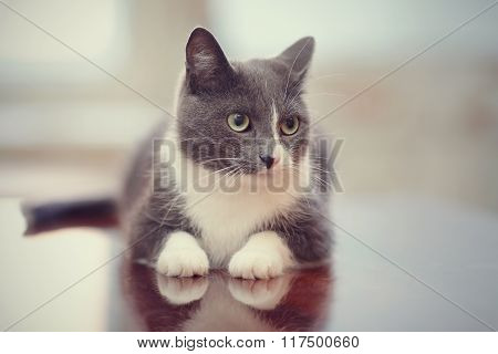 Domestic Cat Of A Smoky-white Color
