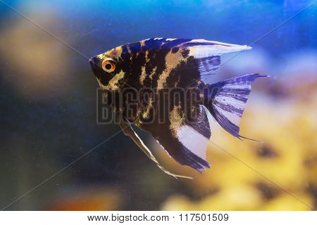 Black Angelfish Cilose Up
