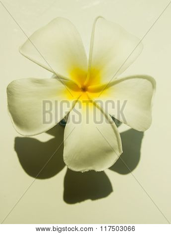 tropical flower lpumeria franjipani