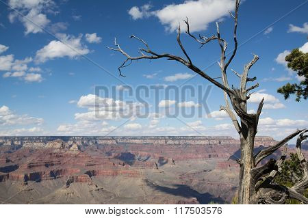 Forked Tree Overlooks Grand Canyon