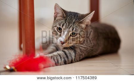 Striped Cat Plays With A Toy