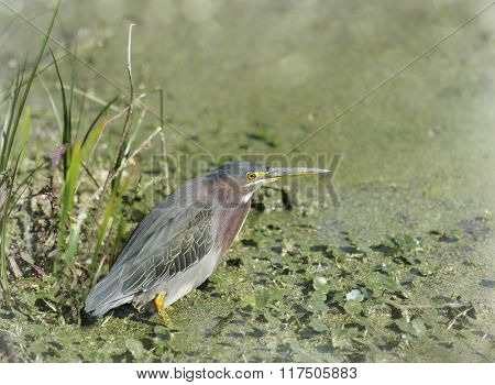 Green Heron in Florida Wetlands
