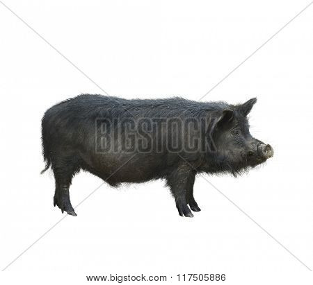 Wild Black Hog Isolated on White Background