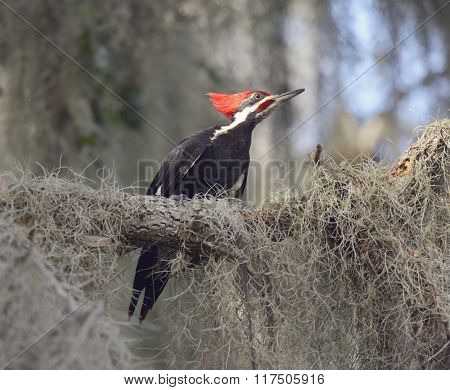 Pileated Woodpecker in Florida Wetlands