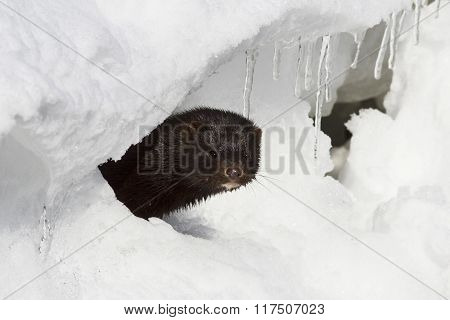 Portrait Of An American Mink Which Looks Out From A Snow Hole